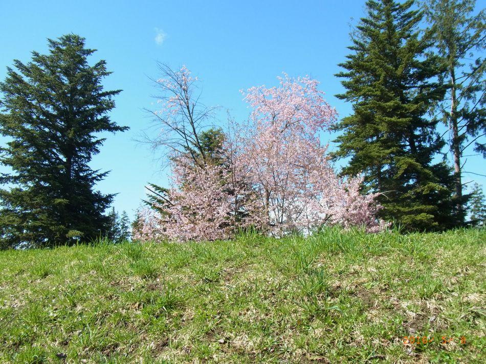 『塩狩峠』50年事業 見本林の桜(ぶんまち-08)